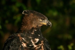 Male Crowned Eagle
