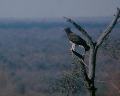 Adult Martial Eagle perched overlooking savannah bushveld habitat, near Skukuza, KNP, 1990s