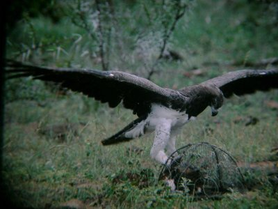 Trapping adult Martial Eagles for ringing and/or wing-tagging for research, KNP, 1990s