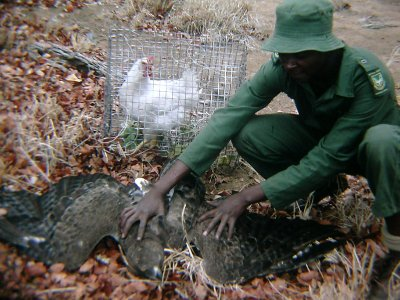 Trapping adult Martial Eagle for ringing and/or wing-tagging for research, KNP, 1990s