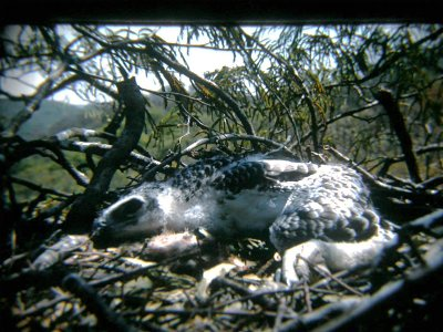 Martial Eagle chick on nest in mountain 'acacia' Brachystegia glaucescens with lake shore in background.