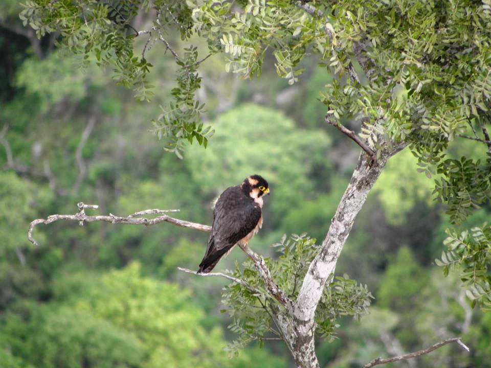 Taita Falcon perched