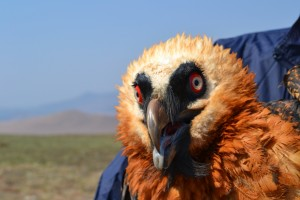 Adult Bearded Vulture