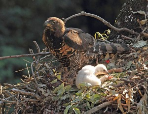 African Crowned Eagle with chick.