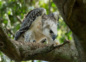 Juvenile African Crowned Eagle