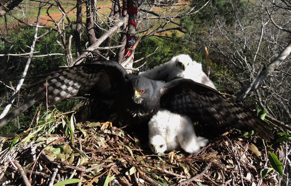 Female on the CHF nest with her chicks at the time of ringing