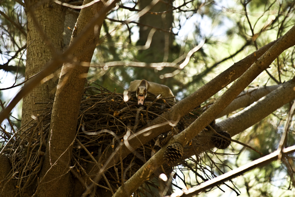 A Black Sparrowhawk nest with goose in it.