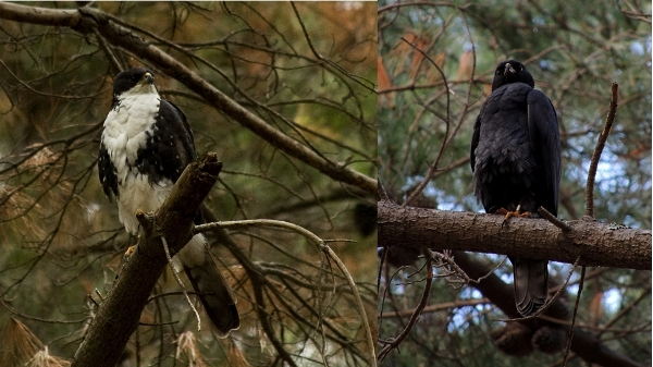 Black Sparrowhawks come in two different forms (morphs). A white chested form/morph and a black chested/morph.