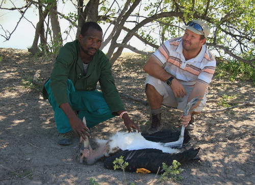 Dr Glyn Maude and David Thandi about to release a tagged stork