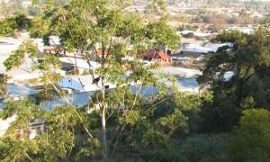 Crowned Eagle visits a gum tree nes