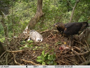 African  Crowned Eagle male and chick at nest