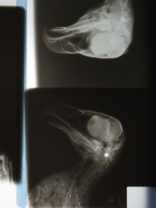 An x-ray image of the juvenile eagle from the 2011 Roberts Road nest site