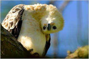 Juvenile African  Crowned Eagle