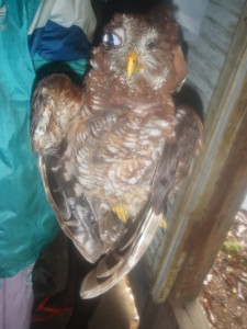 African wood owl (Strix woodfordii) killed in a village